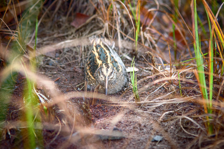 Jack snipe (Lymnocryptes minimus) - very secretive marsh fowl. Bird is hiding and sees equally well forward and backward Stock Photo