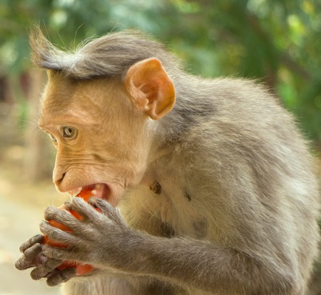 most successful and widespread species of primates in world. Rhesus monkeys (lat. Macaca mulatta) macaques, most well-known. One monkey feeds on tree close-up