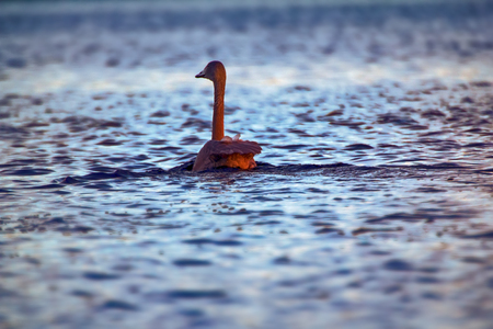 weighs: Whooper Swan weighs up to 10 kilograms and it is very difficult to take off from water. Run is tens of meters. Young bird