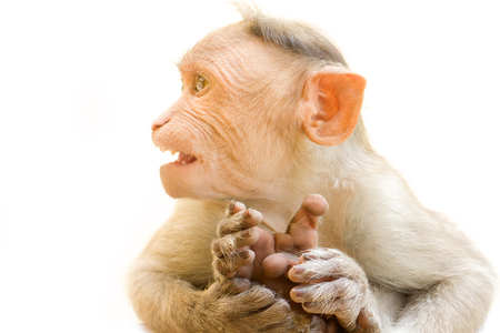 primates: Indian macaques lat. Macaca radiata.  wild animal primates on a white background.  one animal is a monkey close up focus on the paw