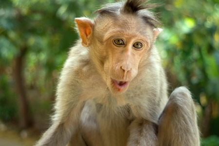 primates: Indian macaques lat. Macaca radiata.  wild animal primates in a tropical forest. One monkey close portrait on a tree branch