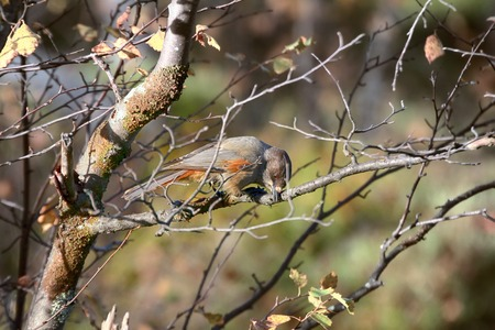 Siberian Jay (Perisoreus infaustus) is very kind and funny (curiosity) taiga bird. Shows gullibility and cunning against man, stealing from hunters. Cleans beak Stock Photo