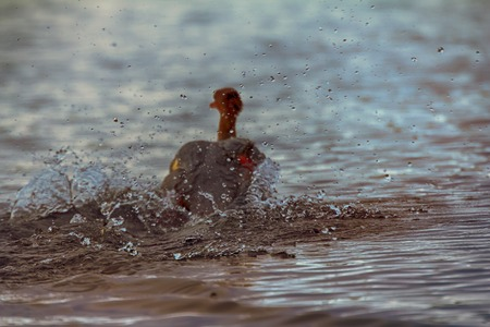 to prefer: Ducks lose their ability to fly during change feathers (molt), prefer to run on water and dive. Common merganser, female Stock Photo
