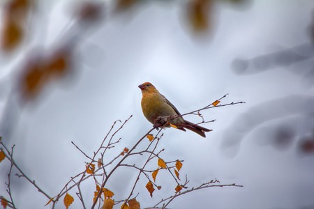 winters: Pine grosbeak (Pinicola enucleator) is typical bird of North taiga, as well as typical invasive species (nomadic migration, breeds and winters where many seeds of conifers and ash berries). Female Stock Photo