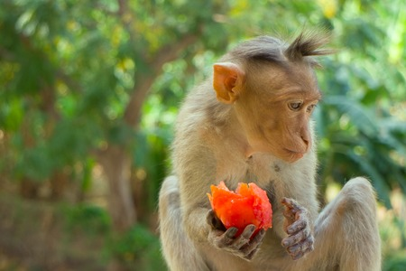 Indian macaques, bonnet macaques, or (lat. Macaca radiata). Habitat types - mountain forests of tropical India, sometimes go to the cities.  One monkey feeds on tree close-up