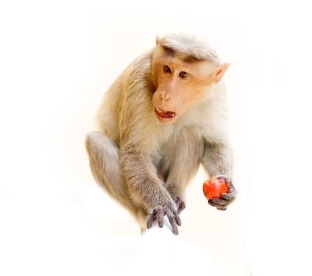 primates: Indian macaques lat. Macaca radiata. wild animal primates on a white background. one animal eating food Stock Photo