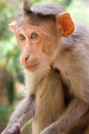 Indian macaques lat. Macaca radiata.  wild animal primates in a tropical forest.  One monkey close portrait on a tree branch Stock Photo