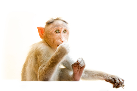 primates: Indian macaques lat. Macaca radiata.  wild animal primates on a white background.  one animal is a monkey close up looking up