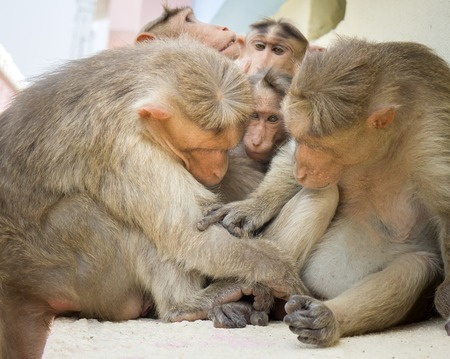 family of five: Indian macaques lat. Macaca radiata. wild animal primates on a white background. monkey family five animals