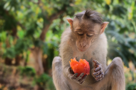primates: Indian macaques lat. Macaca radiata. wild animal primates in a tropical forest. One monkey feeds on tree close-up Stock Photo