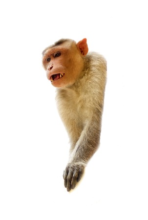 primates: Indian macaques lat. Macaca radiata. wild animal primates on a white background. one animal monkey head sticks closeup Stock Photo
