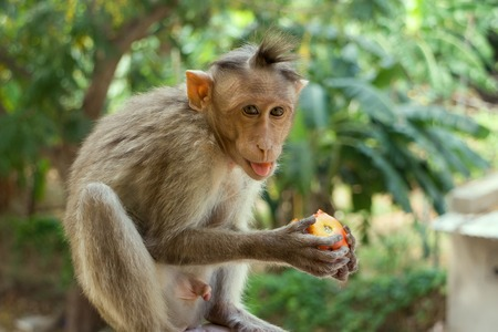 partake: Indian macaques, bonnet macaques, or (lat. Macaca radiata). Habitat types - mountain forests of tropical India, sometimes go to the cities. One monkey feeds on tree close-up Stock Photo