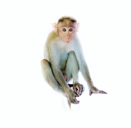 primates: Indian macaques lat. Macaca radiata.  wild animal primates on a white background. one animal, a young monkey