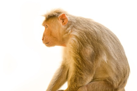 primates: Indian macaques lat. Macaca radiata.  wild animal primates on a white background. one animal large male leader Stock Photo