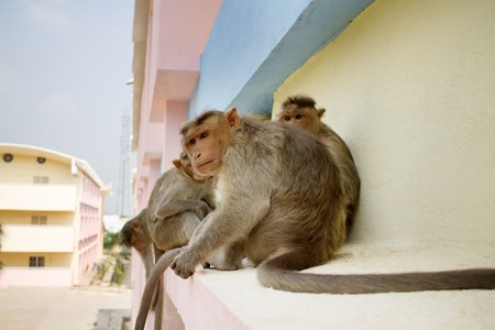 Indian macaques on ledge of multistory building (stealing food) 1. Problem of cohabitation of humans and animals. Animals do not distinguish stone and wooden houses from rocks and trees, city as analogue environment (synanthropization)