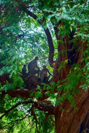 Flying soldiers of monkey God Hanuman 1. Bunch of monkeys (entellus langur, hanuman langur, Presbytis entellus) got the branchy tree