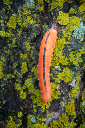 Catchy orange caterpillar (false larva) of poplar sawfly (Cimbex luteus) on stone covered with scale lichens. Altai mountains