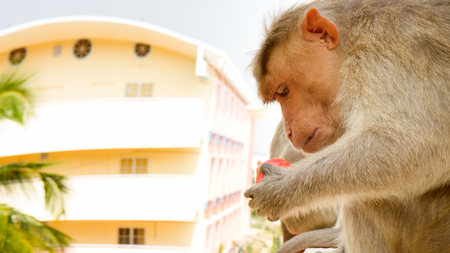 not a problem: Indian macaques on ledge of multistory building (stealing food) 3. Problem of cohabitation of humans and animals. Animals do not distinguish stone and wooden houses from rocks and trees, city as analogue environment (synanthropization) Stock Photo