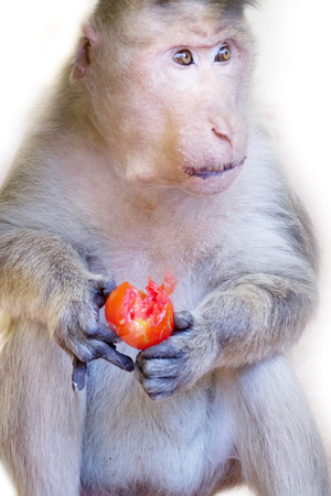 Even monkey understands benefits of organic vegetables 1. Indian Macaque with ripe tomato. Note expressiveness of eyes (long live vegetarianism! Fun) Stock Photo