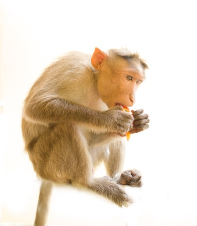 Even monkey understands benefits of organic vegetables 3. Indian Macaque with ripe tomato. Note expressiveness of eyes (long live vegetarianism! Fun) Stock Photo