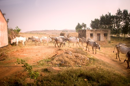 livestock sector: Indian farm in province Andhra Pradesh. Herd of zebu cattle in yard in background of fields