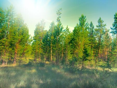 lleno del sol en el bosque de pinos del sur. verano verde distrito arbolado