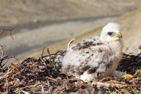 rough-legged Buzzard chick in nest on cliff on tundra river. Only one chick points to fact that lemmings in tundra, relatively small number Stock Photo