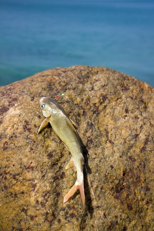 Fishing in India 2. Parvati fish caught in surf among the rocks. Kerala and Goa.