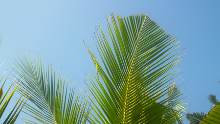 hymn: Chinese fan. Web of young coconut tree beautiful shivers in wind. Heard Hindu hymn