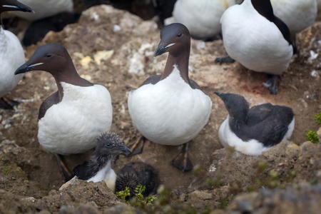 unfreedom: Thick-billed murres (guillemots) with grown Chicks (10 days before descent to the sea)