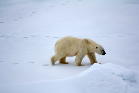 approached: Polar bear near North pole (86-87 degrees north latitude). Never seen people and ships adult male approached large atomic icebreaker