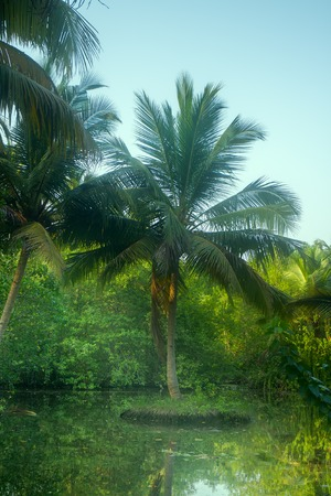 Coconut trees in winter. India. South Kerala Stock Photo