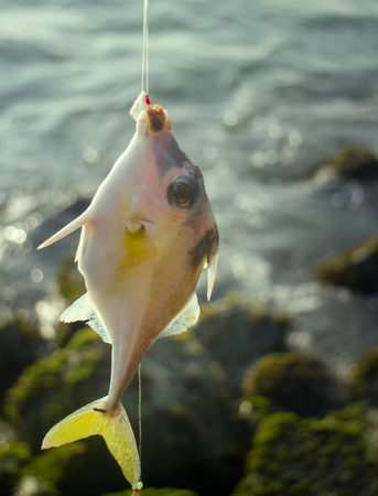 Fishing in India. This triggerfish caught on clam meat, picked up on beach. Kerala and Goa
