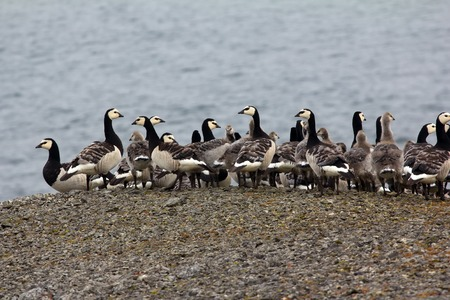 Barnacle goose with Chicks huddled together in tight flock in front of camera. Voices of gees and Arctic terns. Kara sea