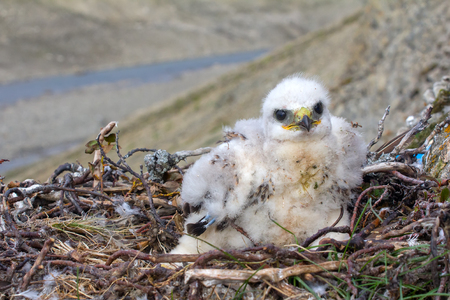 Rough-legged Buzzard chick sits on tail, put his feet to side of nest. Wind ruffled chick fluff Stock Photo
