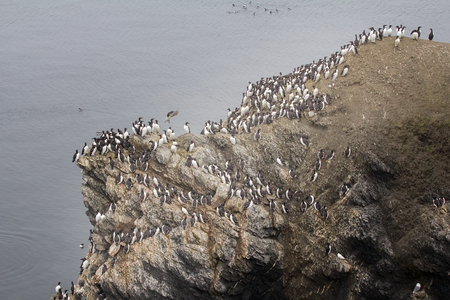 planar: Planar rookery of common murres (dominate) and thick-billed murres on Western shore of Barents sea. Novaya Zemlya Archipelago Stock Photo