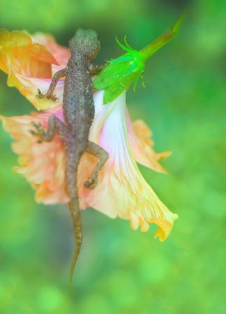 Tropical House Gecko on red flower like Cape Honeysuckle. India. Kerala, January Stock Photo