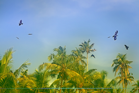 huge number of Indian house crows and some kites gathered in palm grove (camp bird). Kerala, India Stock Photo