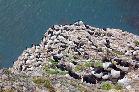 Classic good views of seabirds. Rookery, thick-billed murres. Falling on water guano ensures of marine organisms