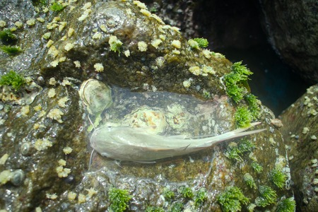 bagre: Amater fishing in India 1. Parvati fish (gafftopsail catfish, Ariidae) caught in surf among rocks (male bears caviar in her mouth). Periphyton on supralittoral: Algae, shellfish (Chinese hat) and bryozoans around. India. Kerala and Goa