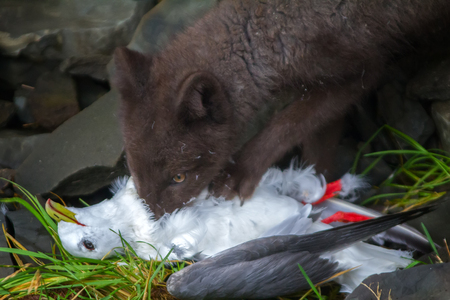 Real killer and predator (angry or nervously-frightened eyes). Blue Fox gnaw Seagull, caught on rookery. Aleutian-Commander Islands Stock Photo