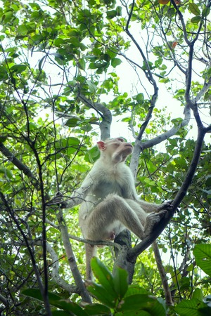 flock of Indian macaques in dry season. Young males remain aloof from family groups Stock Photo
