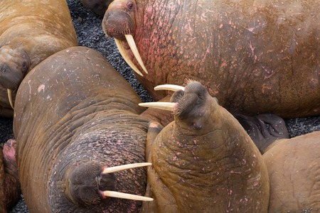 males only: Life Atlantic walruses at haul out sites is (at most) of sleep and small conflicts with neighbors. Only males here. Tusks have function of marriage handicap