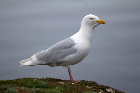 Adult male Burgomaster gull (Glaucous gull, Larus hyperboreus) in Arctic. Strong bird of prey (non-specialized predator)