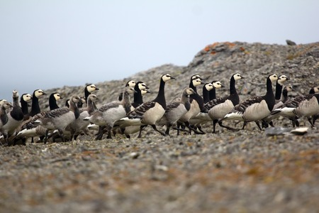 creche: Barnacle goose with Chicks huddled together in tight flock in front of camera. Voices of gees and Arctic terns. Kara sea