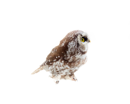 Tengmalms owl (Aegolius funereus) on white background. Large-headed owl with soft feathers (silent flight). Side view