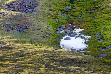 Family of polar bears on Northbrook island (Franz-Josef Land). Cub very dirty, as roll from rock ledge of bird colony, where animals are fed