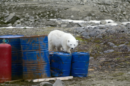 Polar bears in Arctic. Due melting of ice and lack of familiar food (seals) bears visiting camps of tourists and scientists. This bear still drinks milk, but curious