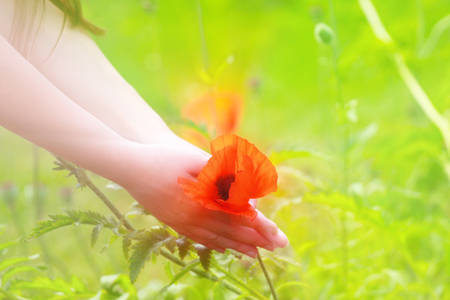 Fun of summer and love. Big red field poppies (passion flower, love intoxication) in girls hands