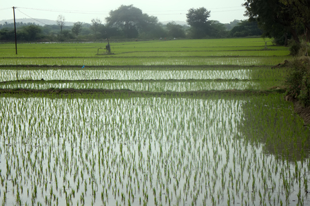 rice fields in Asia classic tropical agriculture and life